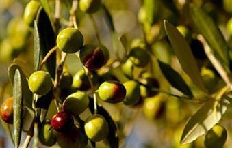"""""""الزراعة"""": الرئيس السيسي صدق على انضمام مصر رسميا للمجلس الدولي للزيتون"""
