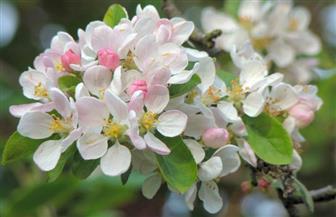 امرأة تظهر في أزهار التفاح