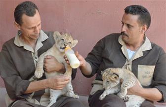 ثرى خليجي يحاول تهريب أسدين على أنهما قطتان بمطار القاهرة| صور
