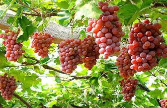 العنب الأحمر.. منجم غني بالفوائد الصحية للجسم