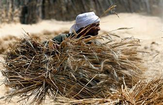 ارتفاع كميات توريد القمح إلى 156984 طن بالفيوم