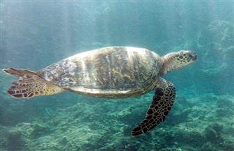 السلاحف تولد إناثا لارتفاع درجات الحرارة عند الحاجز المرجاني العظيم