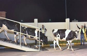 قطر تستورد 4 آلاف بقرة من المجر لتغطية النقص في منتجات اللحوم والحليب