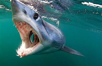 """معهد علوم البحار: لم نرصد أسماك قرش """"الماكو"""" بالعين السخنة"""