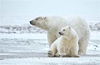 الدببة القطبية تواجه خطر الانقراض بحلول سنة 2100