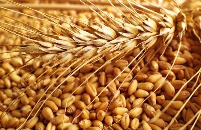 الشرقية تتصدر المحافظات الموردة للقمح.. و350 ألف طن لشركات  المكرونة  لتثبيت الأسعار -