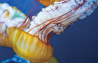 """""""البحث العلمى"""": فرق عمل ميدانية لرصد قناديل البحر على الشواطئ"""