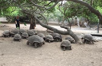 إعادة 36 سلحفاة من سلاحف جالاباجوس إلى موطنها الطبيعي بالإكوادور