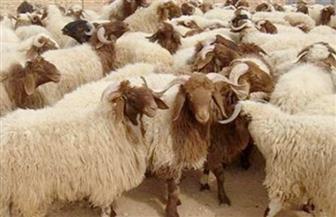 """العيد يشعل أسعار الأضاحي.. الركود سيد الموقف في """"سوق الثلاثاء"""" بمدينة دراو"""