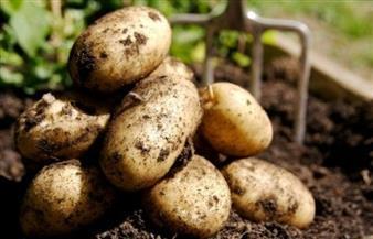 """أمين الفلاحين: أسعار البطاطس ستنخفض خلال يومين.. وبيعها بمنافذ """"التموين"""""""