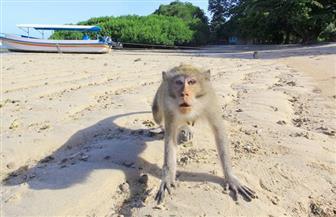 """بعدما أثارت الرعب والفوضي.. إندونيسيا تحشد قوات الشرطة وقناصة لشن حرب على """"القرود"""""""