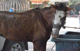 إعدام حصان لإصابته بالأنيميا.. وضبط صاحبه متلبسًا بالسرقة | صور