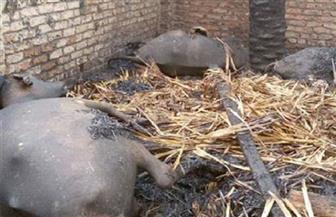 إصابة فلاح ونفوق 16 رأس ماشية في حريق بحظيرة مواشٍ بالفيوم