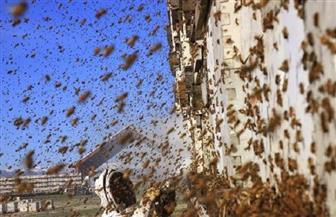 """""""سرب من النحل"""" يهاجم طلاب مدرسة ثانوية في مقاطعة شنشى الصينية"""
