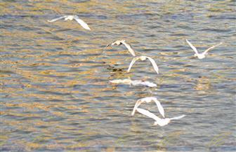 تأمين عبور سرب أوز بري طائر فوق مجرى نهر النيل | صور