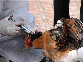مدير الطب البيطري بأسوان: تحصين 13 ألفا و500 طائر ضد مرض إنفلونزا الطيور