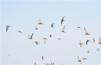 وصول 10 آلاف طائر من أوروبا للتزاوج فى جزر وادى الجمال بالبحر الأحمر| صور