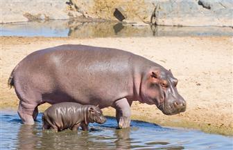 زامبيا تحيي خطة لإعدام 2000 فرس نهر على مدى خمس سنوات