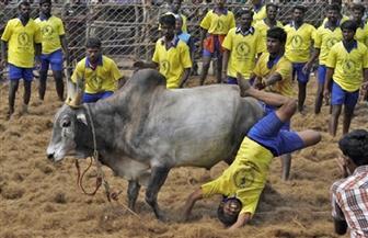 مقتل وإصابة أكثر من 75 في فعاليات لترويض الثيران في الهند