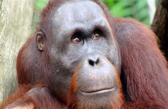 إنقاذ اثنين من حيوانات إنسان الغاب من الأسر في إندونيسيا