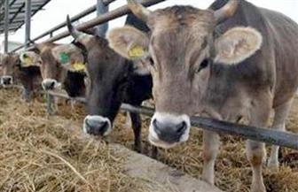 """""""طب بيطرى بنها"""" تنظم قافلة مجانية لعلاج الماشية والطيور بقرية قرنفيل"""