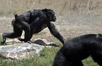 ضبط 3 من القرود الهاربة في باريس وإعادة فتح حديقة الحيوان