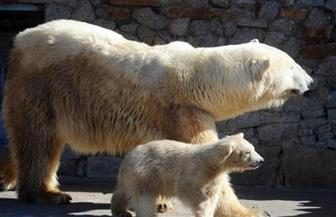 حديقة حيوان باسكتلندا تشهد ولادة أول دب  قطبي منذ 25 عاما