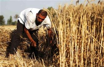 الزراعة: 2.8 مليون فدان منزرعة بالقمح.. وتوقعات بوصولها إلى 3.25 بنهاية الموسم