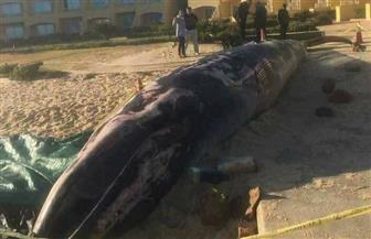 """القوات البحرية تنتشل """"الحوت النافق"""" بالإسكندرية وتسلمه لمعهد علوم البحار"""