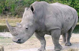 باحثون: الحمض النووي لحيوان وحيد القرن يتسبب في محاكمة صياديه وإدانتهم