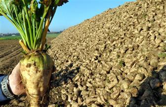 شركات السكر تبحث زراعة 5000 فدان بنجر بمشروع غرب المنيا