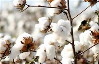 """رئيس """"بحوث الغزل"""" يكشف أسباب تراجع زراعة القطن المصري"""