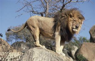 """""""البيئة"""" تضبط أسدا إفريقيا ونمرا بنغاليا وفهدا وضبعا بمزرعة حيوانات مخالفة"""