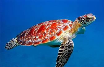 باحثون: التغيرالمناخي سيزيد أعداد إناث السلاحف البحرية
