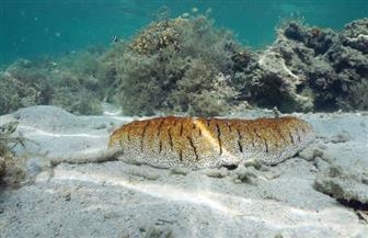 علماء أستراليون يكتشفون حيوان خيار بحر غير عادي في عمق المحيط الجنوبي