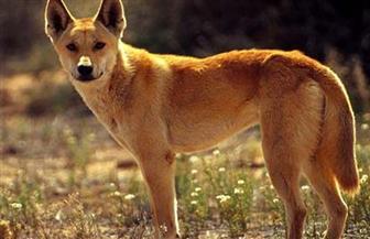 """كلب أسترالي يحصل على """"وسام الشجاعة"""""""