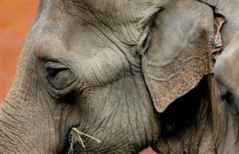 """""""الأرملة الحزينة لامى"""".. آخر فيلة حديقة حيوان جوهانسبرج تستعد للرحيل"""