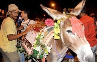 """باعتبارها تراثا وطنيا.. المغرب تنظم مهرجانا دوليا لـ""""الحمير"""""""