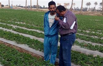 الزراعة تواصل مكافحة الآفات بمحصول الفراولة في محافظة القليوبية | صور