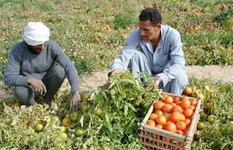 """وزارة الزراعة تجيب عن السؤال.. كيف يؤثر وقف استيراد بذور """"طماطم 023"""" على إنتاجية المحصول؟"""