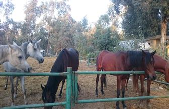 يصل سعر الحصان الواحد إلى مليون جنيه.. مشروعات تربية الخيول تنتعش في مصر رغم المشكلات| فيديو وصور
