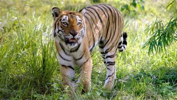 نمر يقتل راهبا أثناء ممارسته للتأمل في محمية بغرب الهند