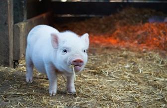الصين تكتشف بؤرة جديدة لأنفلونزا الخنازير الأفريقية شديدة العدوى