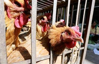 """""""الزراعة"""" تعلن موعد تنفيذ منع نقل الطيور الحية في القاهرة والجيزة"""