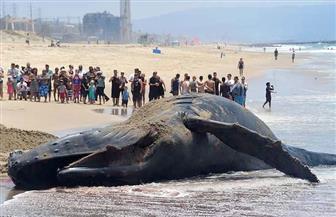 خبير: ارتفاع حرارة البحار من أسباب جنوح الحيتان في نيوزيلندا | صور