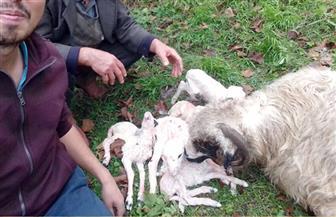 واقعة نادرة الحدوث.. نعجة في تركيا تلد 6 توائم