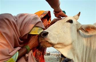 """القبض على جندي هندي بتهمة """"ذبح الأبقار المقدسة"""""""