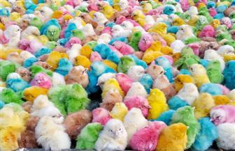 الكتاكيت الملونة باب رزق للبسطاء.. المزارع تعدمها حرقا.. وخبير تغذية: تتلف خلايا المخ والكبد للأطفال | صور