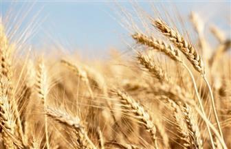وفد من معهد بحوث المحاصيل الحقلية يزور الوادي الجديد للمرور على الحقول الإرشادية للقمح