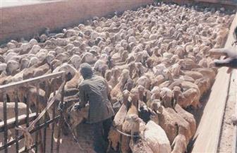 """رئيس """"الملاحة"""" بأسوان: نقل 150 ألف رأس ماشية من السودان"""